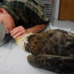 Mouth to Beak CPR rescues injured Bald Eagle