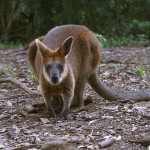 Australian Man saves Wallaby from Drowning with CPR